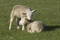 Two lambs on pasture. Green grass stock photo