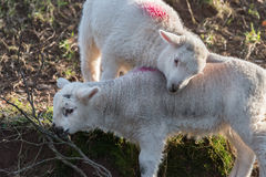 Two lambs playing Royalty Free Stock Image
