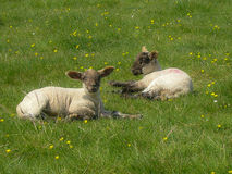 Two Lambs relaxing in a field. Two lambs laying down in a field of buttercups and daisy's during spring time. Wales, UK Stock Photography