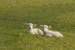 Two lambs resting on green meadow Royalty Free Stock Photo