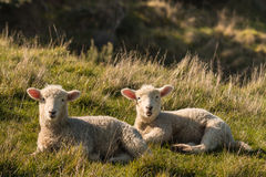 Two lambs resting on meadow Stock Image