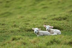 Two Lambs Resting O Grass Stock Image