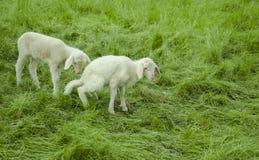 Two Lambs. Sheep farm - lambs - closeup - green grass -  spring time Stock Photo