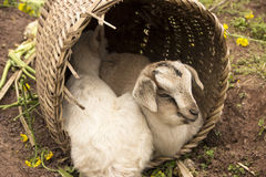 Two lambs shelter. World light rain, two lambs in his backpack and shelter , snuggle Stock Photo