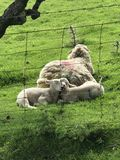 Two lambs a sleep behind their mother Stock Photography