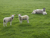 Two Lambs Standing with one Ewe lying with two lambs Stock Photos