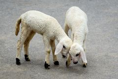 Two very young white lambs. Royalty Free Stock Photos
