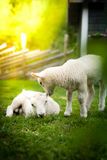 Two lambs with a tree in the foreground Stock Photos
