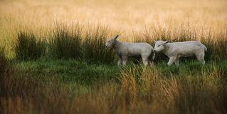 Two Lambs Walking in Tall Grass Stock Photo