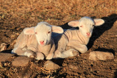 Two lambs Royalty Free Stock Image
