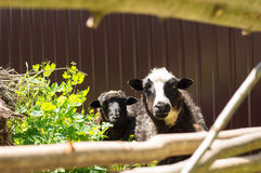 Two lambs who are looking out of a fence Royalty Free Stock Images