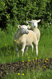 Two Lambs Royalty Free Stock Photography