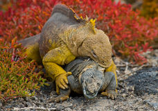 Two land iguanas are fighting with each other. The Galapagos Islands. Pacific Ocean. Ecuador. Royalty Free Stock Photos