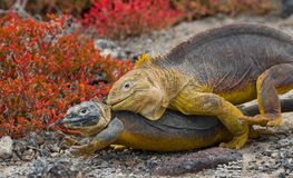 Two land iguanas are fighting with each other. The Galapagos Islands. Pacific Ocean. Ecuador. Royalty Free Stock Images