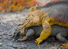 Two land iguanas are fighting with each other. The Galapagos Islands. Pacific Ocean. Ecuador. Royalty Free Stock Photo