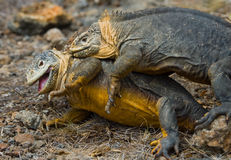 Two land iguanas are fighting with each other. The Galapagos Islands. Pacific Ocean. Ecuador. Stock Image