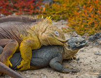 Two land iguanas are fighting with each other. The Galapagos Islands. Pacific Ocean. Ecuador. Stock Photos