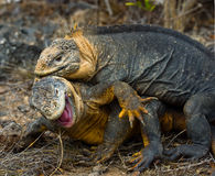 Two land iguanas are fighting with each other. The Galapagos Islands. Pacific Ocean. Ecuador. Stock Images