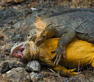 Two land iguanas are fighting with each other. The Galapagos Islands. Pacific Ocean. Ecuador. Stock Photo