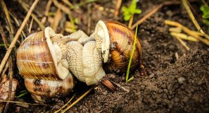 Two land snails mating in between grass Royalty Free Stock Photography