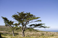Two landmark trees at Cape Point. South Africa Royalty Free Stock Photography