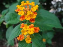 Two lantana flower with green leafs. There are two lantana flower with green leaves.lantana flowers is of yellow & red color. there is no sunlight fell on it royalty free stock photos