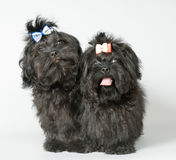 Two lap-dog in studio Royalty Free Stock Photos