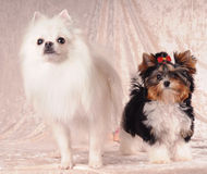 Two lap dogs. Portrait of two lap dogs standing on textile background and looking almost in camera Stock Image