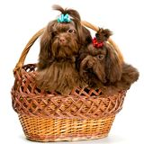 Two lap dogs in a basket Stock Images
