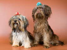 Two lap-dogs  in studio Royalty Free Stock Images