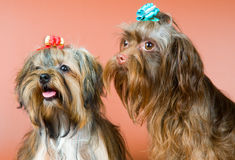 Two lap-dogs  in studio. On a neutral background Royalty Free Stock Image