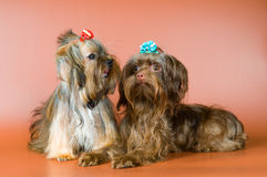 Two lap-dogs  in studio Stock Image