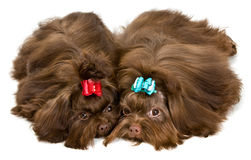 Two lap dogs in studio Stock Photos