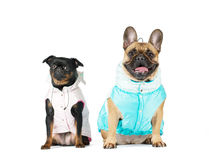 Two lap purebred dogs in suits Stock Photography