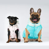 Two lap purebred dogs in suits Stock Photo