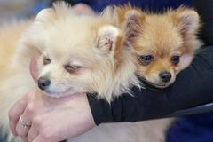 Two lap Spitz royalty free stock photography