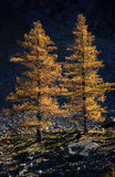 Two larches in fall. Two orange larches in fall silhouetted against dark background Stock Images