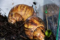 Two large Achatina snails in the aquarium stock photo