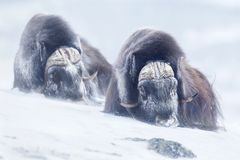 Two large adult male musk oxen in the mountains during tough cold winter conditions Stock Images