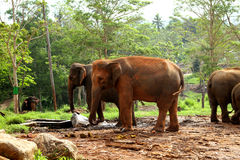 Two Large Asian Elephants. In the Elephant park Royalty Free Stock Images
