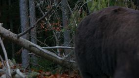 Two large bear walking in the woods stock video