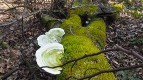 Two large belozelenyh fungus growing on a tree around the green moss. Camera forward to mushrooms movement allows you to see the d stock footage