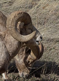 Two Large Big Horn Rams Grazing Royalty Free Stock Photography