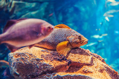 Two large big red yellow tropical fishes in blue water, colorful underwater world. Copyspace for text, background wallpaper Royalty Free Stock Photos