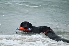 Two large black dogs playing in the Pacific Ocean at dog beach. In Southern California Stock Photography