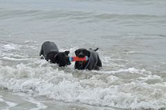 Two large black dogs playing with a toy at dog beach. In Orange County California Royalty Free Stock Photography