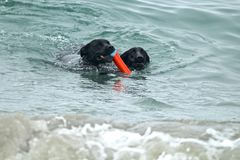 Two large black dogs swimming in the ocean fetching a toy. In Southern California Stock Image