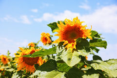 Two large bright yellow sunflower head Royalty Free Stock Photos