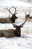 Two large Bull Elk with Large Antlers Laying in Snow Royalty Free Stock Image
