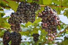 Two large bunches of red wine grapes hang from a vine Royalty Free Stock Photos
